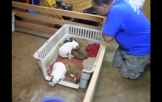 VIDEO: This Is Too Cute! Man Sings A Litter Of Puppies To Sleep