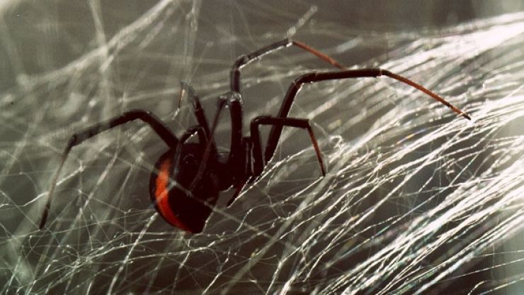 Man In Cork Reportedly Killed By Toxic Spider Bite