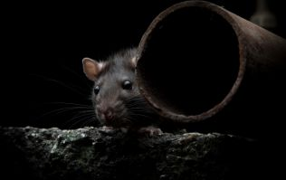 "Don't Look Now! Pest Controllers Warn of ""Boom Time"" For Rats"