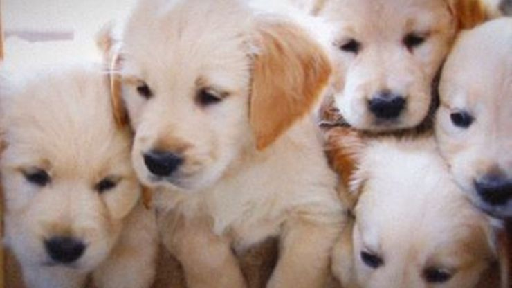 The UK will be introducing a complete ban on puppy farms by 2020