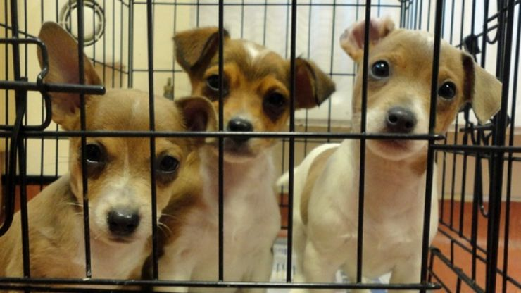 Puppies are being smuggled into Britain from illegal farms in Ireland