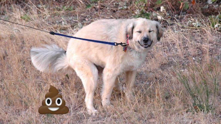 This Is Why Your Dog Stares At You As It Poops