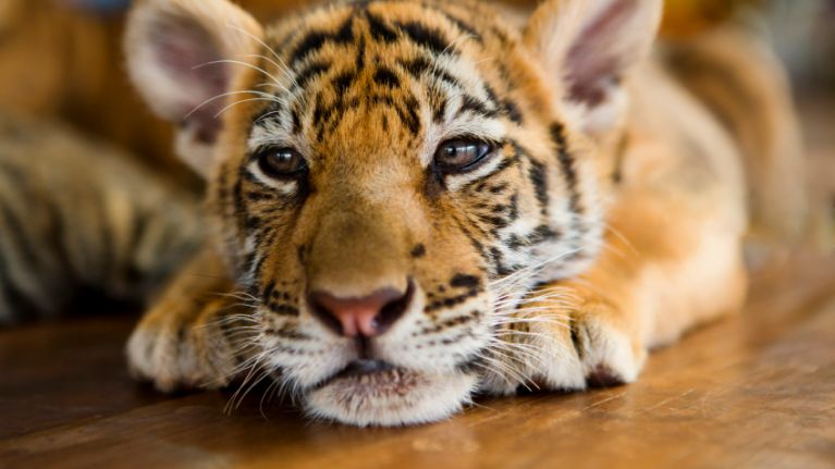40 dead tiger cubs found at Thailand's Tiger Temple