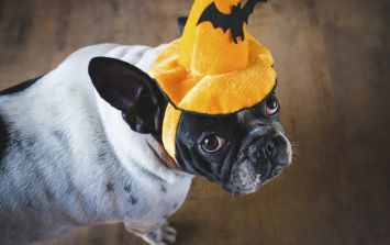 If your dog get frightened on Halloween, try these tips
