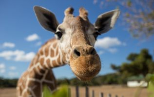 Giraffes have officially been added to the endangered species list