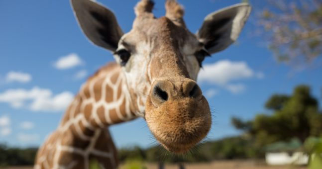 Giraffes are dying off and conservationists want to act NOW