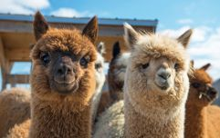 Llamas are the new unicorns - and now we have definitive PROOF