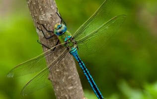 Female dragonflies fake their deaths to avoid interaction with male suitors