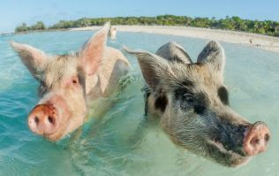 Seven swimming pigs are found dead in the Bahamas - and drunk tourists are being blamed