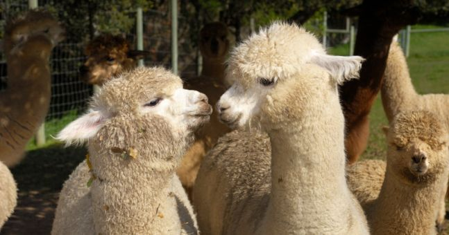 Irish alpacas are now protecting our sheep (and yes, it's every bit as cute as it sounds)