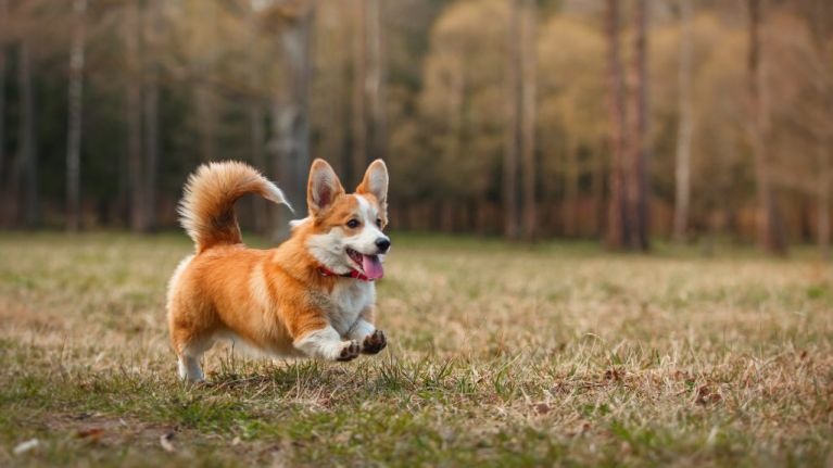 Corgi races are an actual thing and we CAN'T handle the cuteness