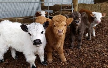 Cow puppies are real... and they deserve all our attention and love