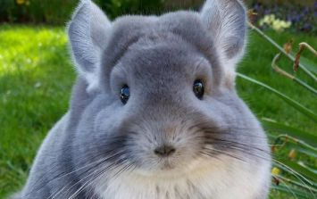 You haven't experienced true cuteness until you see this outrageous chinchilla