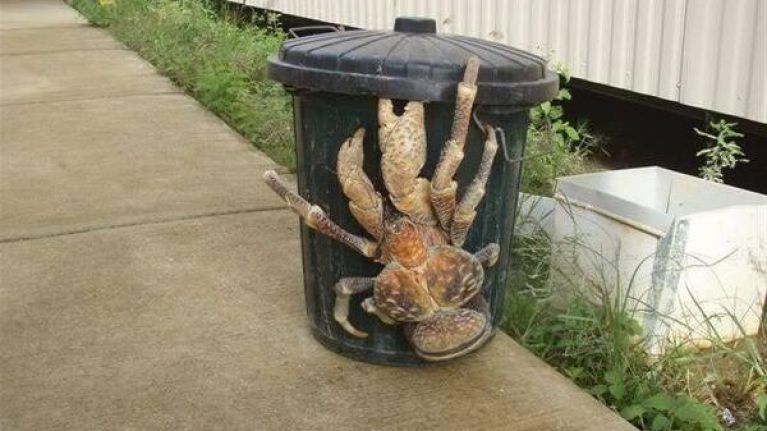 Have you seen the coconut crab? It's the stuff of nightmares