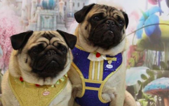 These Beauty and the Beast dog harnesses are so cute we could honestly burst
