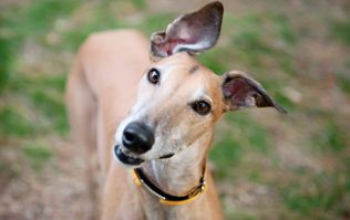 Dogs Trust can't find greyhounds their 'forever home' and the video will MELT you
