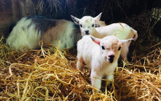 Pygmy goats are the cutest little lads and one Irish farm is selling them