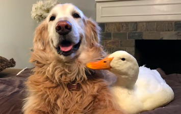 Dog and his ducks prove friendship comes in all shapes, sizes... and species