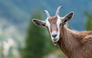 Goats 'procreating like there's no tomorrow' causing concern for Clare residents