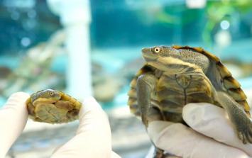 Small, cute turtles 'virtually wiped out' are back at it again and it's delightful