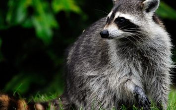 A racoon scaled a 23 storey building and had a very happy ending