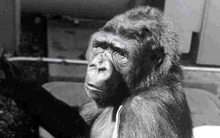 Koko the gorilla, who could communicate with people, has died aged 46