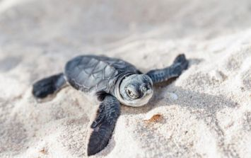 Critically endangered sea turtle found dead as a result of littering