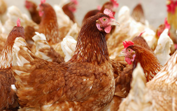 Everyone is typing 'Heya Chicken' into Google Translate and you'll be howling