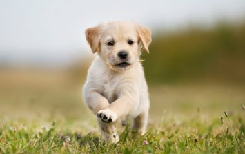 Irish Guide Dogs need puppy raisers in Leinster and Munster - and all bills are covered