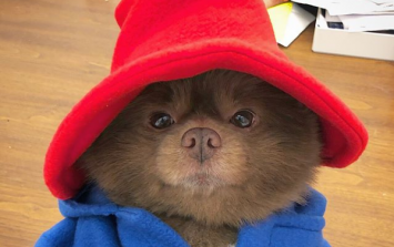 This GORGE pomeranian looks exactly like Paddington Bear and the Internet can't deal