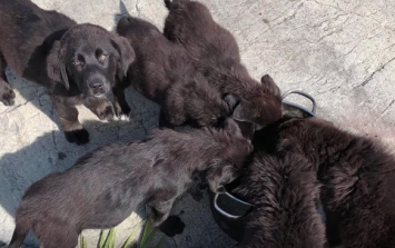 Seven puppies were found on an island in Manitoba and we are IN LOVE