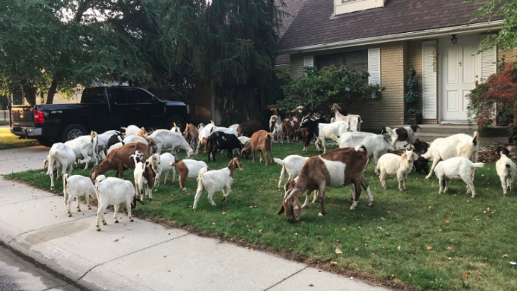 100 goats got loose in a US neighbourhood and ate 'everything in sight'