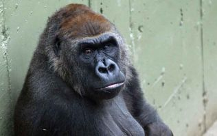 Dublin Zoo 'extremely saddened' by the death of one of its Gorillas