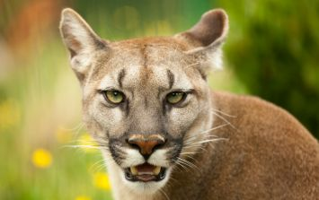 The CSPCA are investigating a number of possible puma sightings in Cork