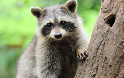 Racoon scales nine-story building, jumps off, and miraculously survives