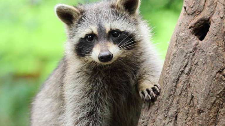 Racoon Scales Nine Story Building Jumps Off And Miraculously