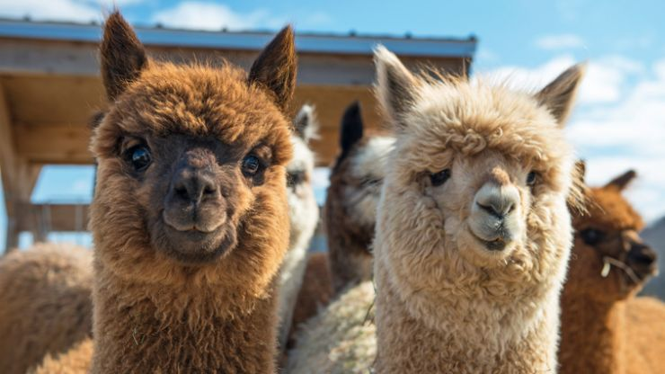 Mum tries to get her daughter's attention by texting pictures... of alpacas