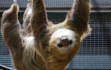 Awww! Adorable zoo sloth gets a girlfriend just in time for Valentine's Day