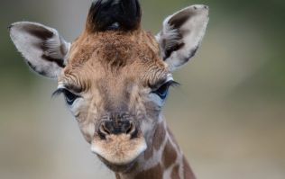 A baby giraffe has been born at Dublin Zoo and she is adorable