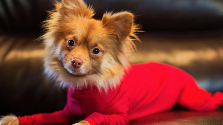 Dog leotards exist - and they could actually be very good for your pupper