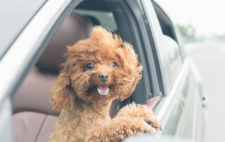 One in four of us don't restrain our pets in the car, finds survey
