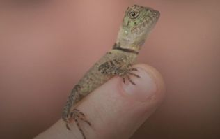 Baby forest dragons just hatched at Chester Zoo and they are adorable little lads
