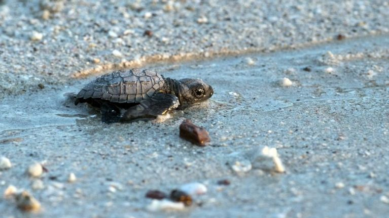 300 'washback' baby turtles are being helped out by a Florida zoo