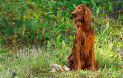 Dog who accidentally shot his owner is forgiven because he is a Good Boy