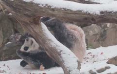 Happy Friday! Here's a video of a panda rolling around in the snow