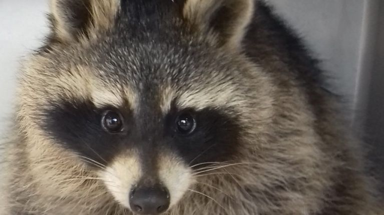 Scottish Spca To Rehome Pet Racoon And Where Do We Sign The Adoption