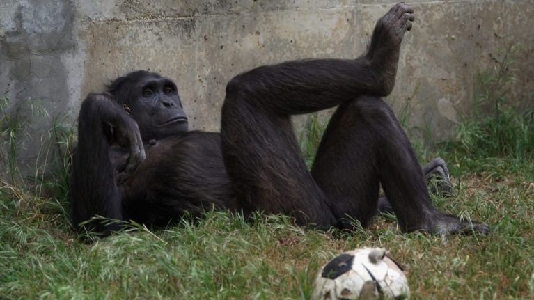 There's a video of a chimp scrolling through Instagram and same, tbh
