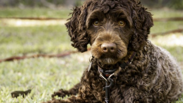 Labradoodle rushed to the vet after eating seven Easter eggs