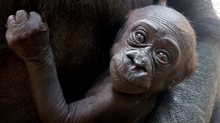 It's a girl! Dublin Zoo wants your help naming its new baby gorilla
