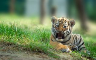 Rare tiger cub accidentally crushed to death by its mother at Dublin Zoo